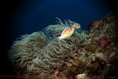 5.-OTB-Pink-Anemone-Fish